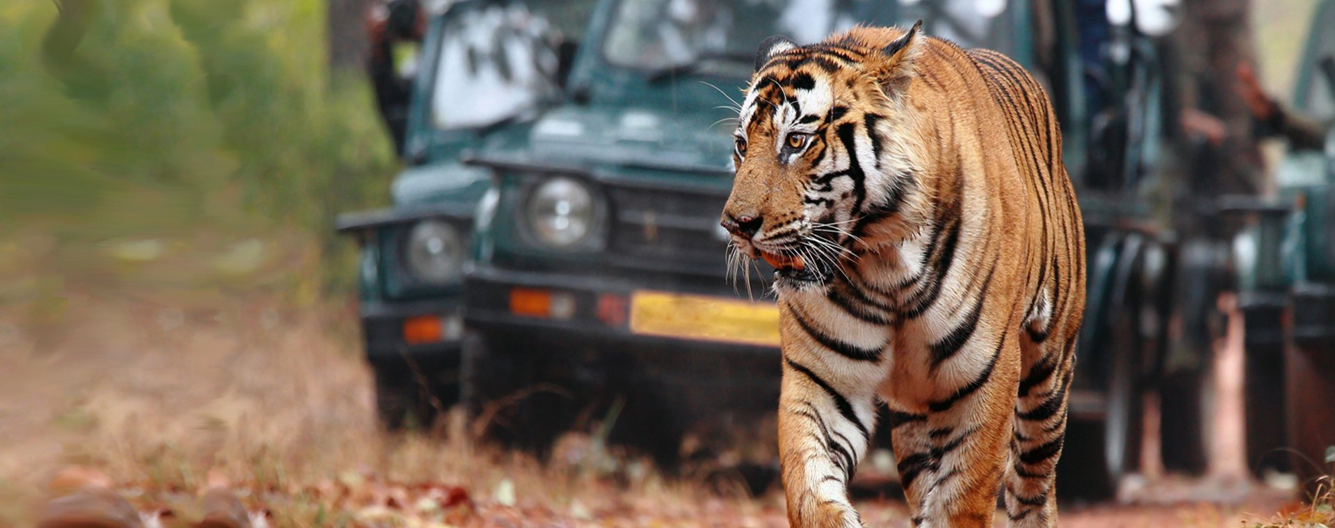 singles tour india tigers